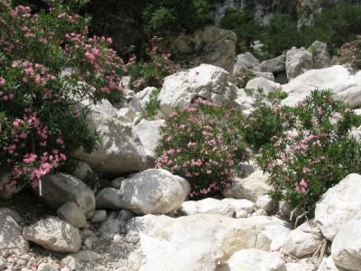 Oleanders and limestone boulders (Gola su Gorroppu)